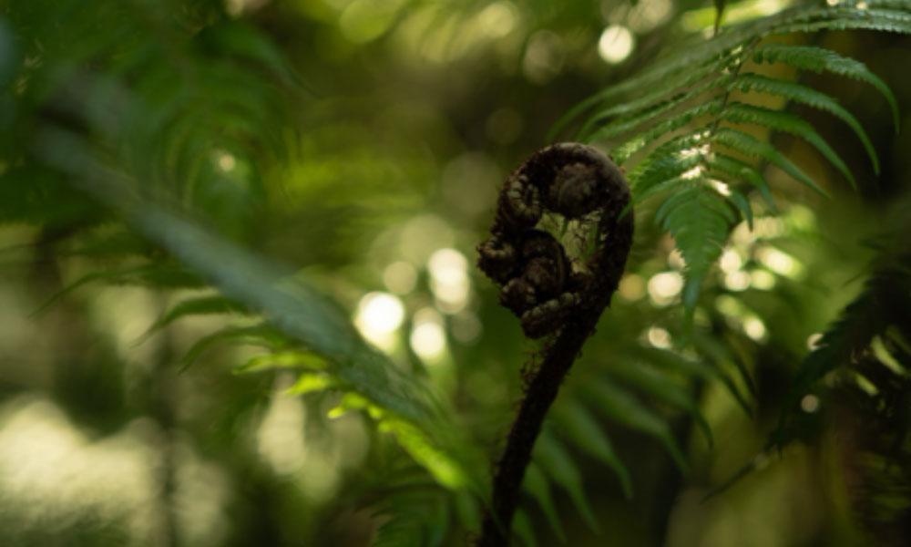 Mamaku - New Zealand's Black fern
